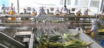 不銹鋼自動化甜玉米加工設備